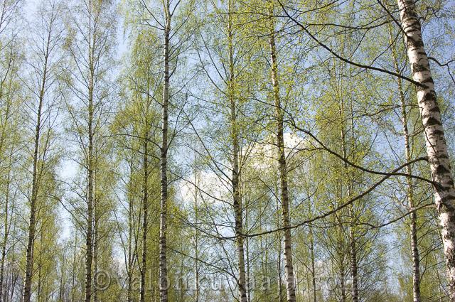 Keväisiä koivuja. Valokuvaaja: Markus Kauppinen