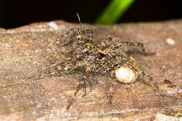 Lähikuvaus - hämähäkki. Valokuvaaja: Markus Kauppinen