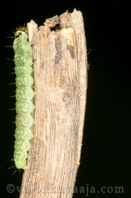 Luontokuvaus - Vihreä toukka. Valokuvaaja: Markus Kauppinen