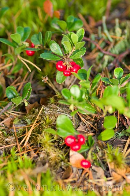 Puolukka (Vaccinium vitis-idaea). Valokuvaaja: Markus Kauppinen