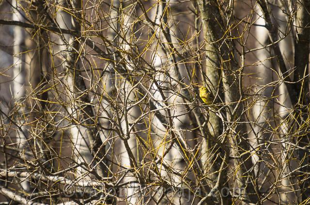 Kevätseuranta keltasirkku - Markus Kauppinen
