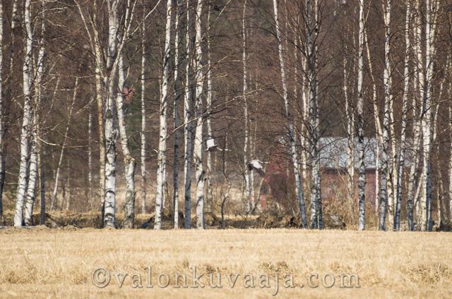 Kevätseuranta kurjet - Markus Kauppinen