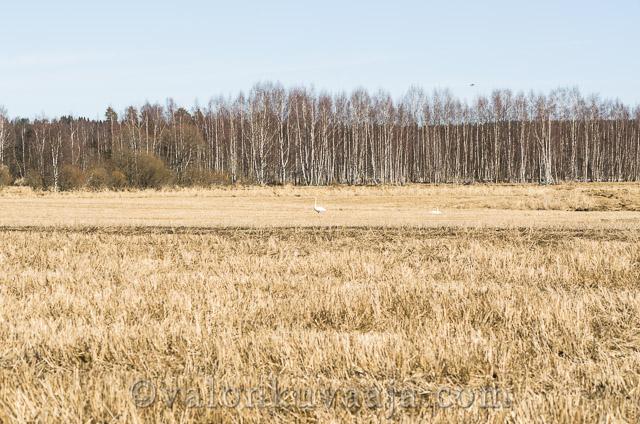 Kevätseuranta laulujoutsenet - Markus Kauppinen