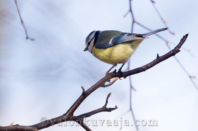 Parus caeruleus - Sinitiainen. Valokuvaaja: Markus Kauppinen
