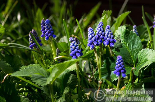 Puutarhan kevätseuranta. Valokuvaaja: Markus Kauppinen