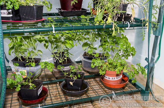 Persiljaa ja basilikaa kasvihuoneessa. Kuvaaja: Markus Kauppinen