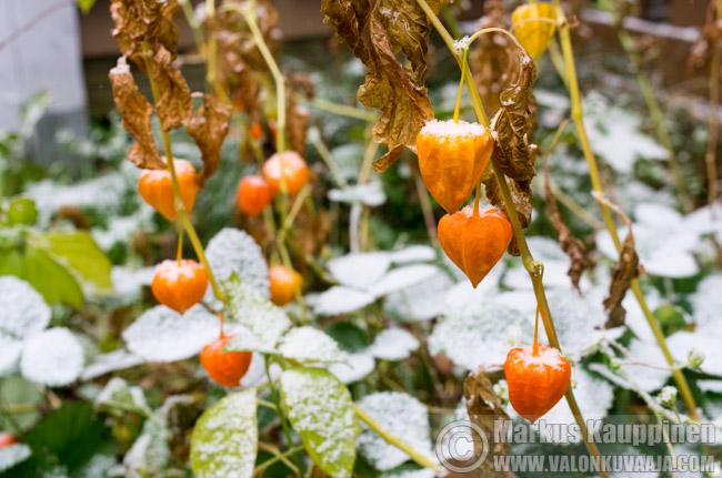 Ensilumi satoi puutarhaan. Valokuvaaja: Markus Kauppinen