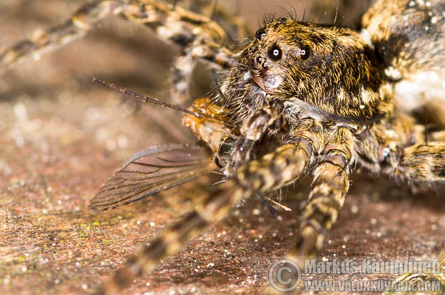 Hämähäkki syö hyttystä. Valokuvaaja: Markus Kauppinen