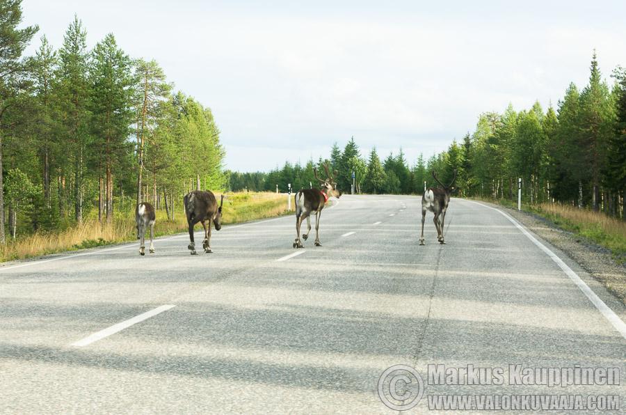 Poroja tiellä. Kuvaaja: Markus Kauppinen
