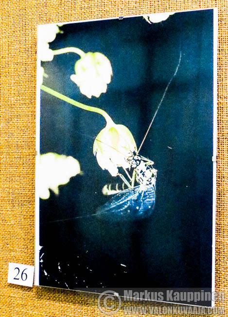 Kotokulmilta, pudonut taulu. Valokuvaaja: Markus Kauppinen